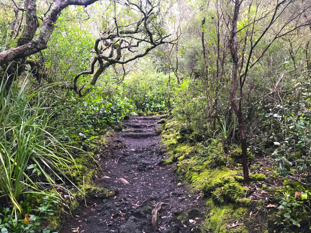 Rangitoto Island track through native bush