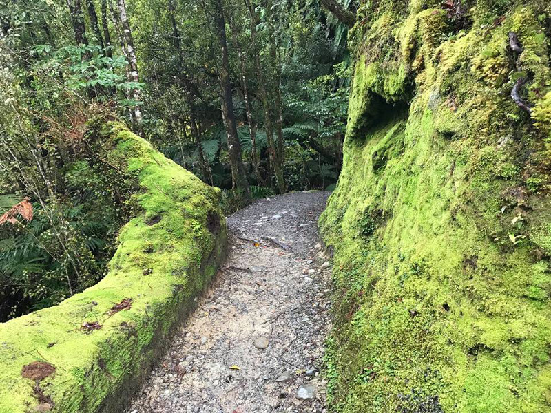 mossy native forest track at Fox Glacier