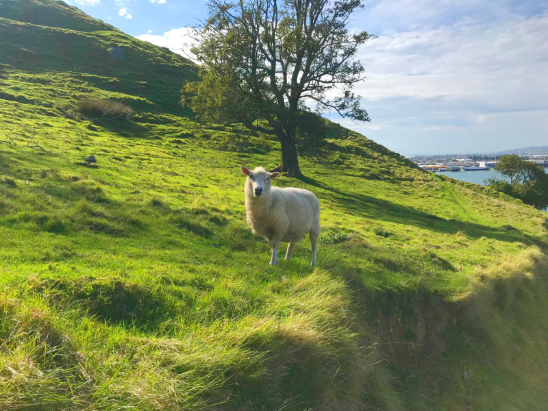 Friendly sheep on the Mount
